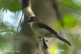 Flycatcher, Grey-chested Jungle