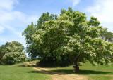 floweringtrees