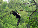 Eagle Flying away.jpg