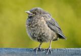 Blackbird Chick