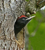 Woodpeckers, Kingfishers and Bee-eaters