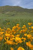 California Wildflowers 2009