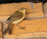 Grønirisk - ungfugl