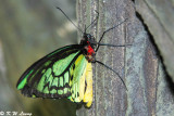 Ornithoptera priamus (Cairns Birdwing)