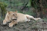 Lioness 01