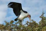 Marabou Stork 04