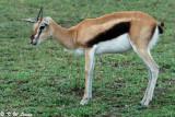 Thompson's gazelle (DSC_8189)