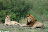 Lion Couple - After mating