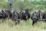 Wildebeest (DSC_8172)