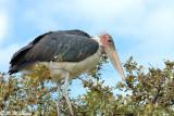 Marabou stork 03