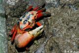 Fiddler crab DSC_2448