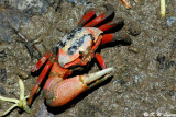Fiddler crab DSC_2450