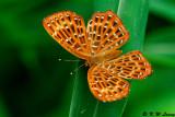 Zemerous flegyas 06