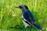 Oriental Magpie Robin DSC_8826