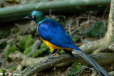 Golden-breasted Starling  01