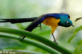 Golden-breasted Starling 02