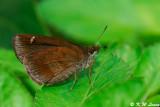 Astictopterus jama 03