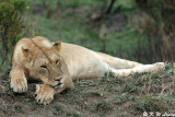 Lioness 02