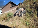 Cusco_City_Pigs.jpg