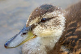 Duckling Droplets 16925