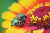 Japanese Beetles Being Bad 17059