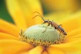 Bug On A Yellow-Orange Flower 20080806