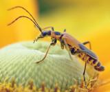 Bug On A Yellow-Orange Flower 17164 (crop)