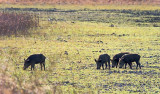 Feral Hogs 37528