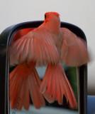 Cardinals of Texas