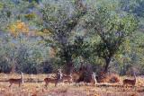 Distant Deer 39679