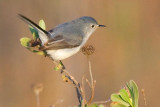 Blue-gray Gnatcatcher 39178