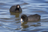 Two Coots 40782
