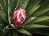 Yucca Bud 20090217