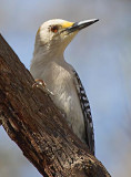 Woodpeckers of Texas