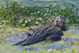 Lurking Gator 45725