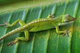 Anole Lizard On A Leaf 20090327