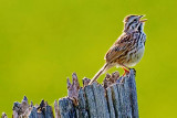 Song Sparrow Singing 48418