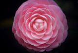 Camellia 55775-6v2