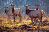 Backlit Elk 11239