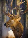 Elk Among Trees 52468