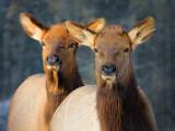Two Elk 52491
