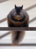 Chubby Squirrel 20091231