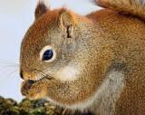 Red Squirrel Closeup 52767