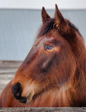 Horse Head 14450
