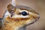 Chipmunk Closeup 53108
