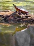 Turtle On A Log 53355