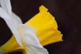 Daffodil Profile 53400