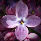 Lilac Closeup 20100514