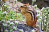 Chipmunk On A Rock 20100518