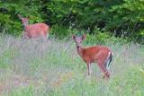 Two Deer 20100601
